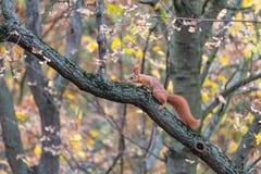 De Europees-Aziatische rode eekhoorn beklimt op een bemoste tak van esdoornboom stock foto's