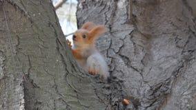De Europees-Aziatische rode eekhoorn zit dichtbij de noot en beklimt dan op de boom stock footage