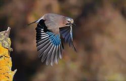 De Europees-Aziatische Vlaamse gaai die opstijgen met strretched vleugels van tak in de herfst stock foto