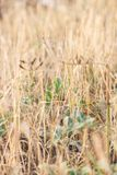De Europese bidsprinkhanen in droog geel gras stock fotografie