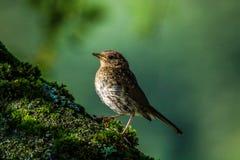 De Europese die vogel van Robin op een tak met mos wordt behandeld royalty-vrije stock foto's