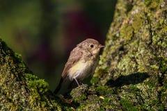 De Europese die vogel van Robin op een tak met mos wordt behandeld royalty-vrije stock fotografie