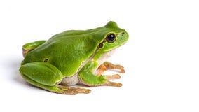 De Europese groene die zitting van de boomkikker op wit wordt geïsoleerd