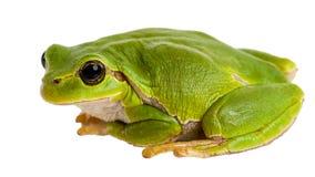 De Europese groene die zitting van de boomkikker op wit wordt geïsoleerd stock foto