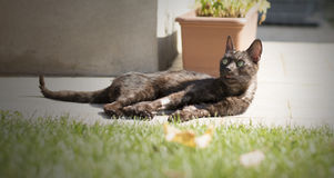 De Europese kat ontspant in de tuin Stock Foto