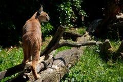 De Europese lynx van het noorden. Royalty-vrije Stock Afbeelding