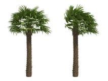 De Europese Palmen van de Ventilator Stock Afbeeldingen