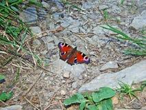 De Europese pauw, de pauwvlinder Aglais io of Das Tagpfauenauge Schmetterling stock fotografie