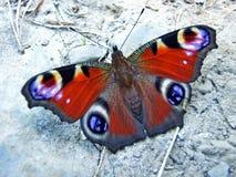 De Europese pauw, de pauwvlinder Aglais io of Das Tagpfauenauge Schmetterling stock afbeeldingen