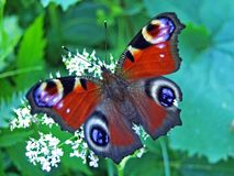 De Europese pauw, de pauwvlinder Aglais io of Das Tagpfauenauge Schmetterling stock afbeelding