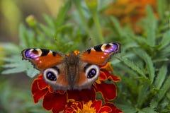 De Europese pauw zit op een bloem Tagetes Royalty-vrije Stock Afbeelding