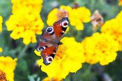 De Europese pauwvlinder zit op Tagetes-bloem, hoogste mening Stock Fotografie