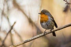 De Europese Robin Erithacus-zitting van de rubecula Oranje zangvogel op de tak stock foto