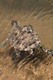 De Europese Schildpad van de Moerasschildpad van de Vijver Stock Afbeelding