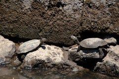 De Europese Schildpadden van de Moerasschildpad van de Vijver Royalty-vrije Stock Foto's