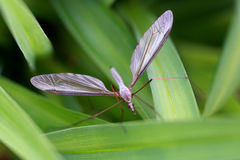 De Europese species van Crane Fly - Tipula- Stock Foto