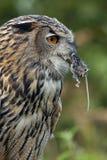 De Europese Uil van de Adelaar (bubo Buba) - Schotland stock afbeelding
