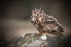 De Europese Uil van Eagle Stock Fotografie