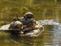De Europese vijverschildpad stock foto