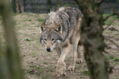 De Europese wolf jacht stock fotografie