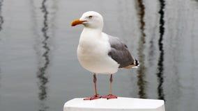 De Europese Zeemeeuw van Haringen royalty-vrije stock foto