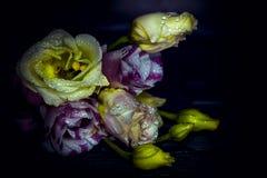 De Eustomabloemen in dalingen van water op een donkere achtergrond sluiten omhoog Royalty-vrije Stock Foto
