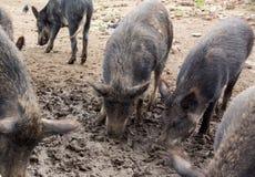 De everzwijnen graven een neus in de modder Royalty-vrije Stock Fotografie