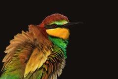 De exotische gekleurde vogel is geïsoleerd op een zwarte achtergrond Royalty-vrije Stock Afbeeldingen