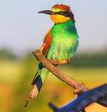 De exotische gekleurde vogel is warm in de stralen van de de zomerzon Stock Afbeelding