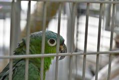 De exotische huisdierenpapegaai is gesloten achter poort royalty-vrije stock foto