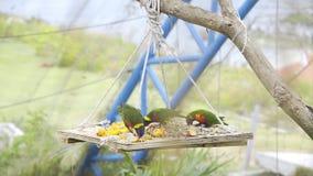 De exotische kleurrijke vogels eten vruchten en korrels in het park, fauna van de wildernis, mooie vogels, heldere kleuren stock videobeelden
