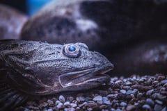 De exotische vissen die van het close-upgezicht op de bodem in Oceanarium liggen royalty-vrije stock foto's