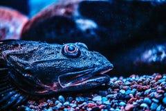 De exotische vissen die van het close-upgezicht op de bodem in Oceanarium liggen stock afbeelding