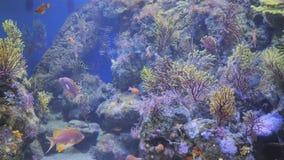 De exotische vissen zwemmen in het Aquarium stock video