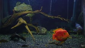 De exotische vissen zwemmen in het Aquarium stock footage