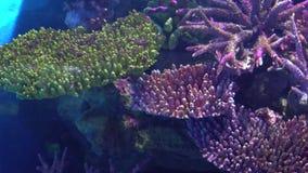 De exotische vlotter van de vissenzeeëngel tussen kleurrijke tropische koralen stock videobeelden