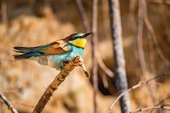 De exotische vogel Europese bij-eter of topposities van Merops apiaster op takje royalty-vrije stock foto's