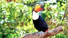 De exotische vogel van de tocotoekan in het natuurlijke plaatsen en het kijken stock videobeelden