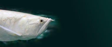 De exotische Zilveren Arowana-foto van de vissenclose-up De witte van de draakvissen van colorescleropages goudhoudende Aziatisch stock afbeelding