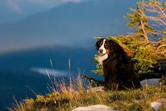 De expressieve grote Bernese-Berghond zit op een berg royalty-vrije stock foto's