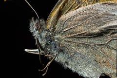 De extreme macro van het vlindergezicht Stock Afbeeldingen