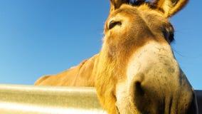 De ezel is buitengewone dierlijk, sterk en hartelijk stock foto's