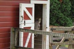 De ezel gluurt rond de deuropening Stock Foto's