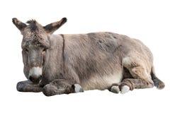 De ezel ligt geïsoleerd op een wit stock afbeeldingen