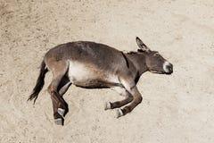 De ezel op het zand wordt geslapen dat royalty-vrije stock fotografie