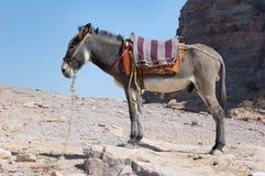 De ezel - Petra royalty-vrije stock foto's