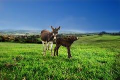 De ezel van de moeder en van de baby. Royalty-vrije Stock Foto's