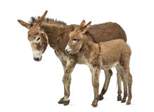 De ezel van de moederprovence en haar die veulen op wit wordt geïsoleerd Stock Afbeelding