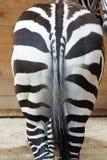 De ezel van Zebras Royalty-vrije Stock Foto's