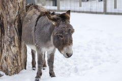 De ezel in zijn sneeuw behandelde pen die zijn flank wrijven tegen een boomboomstam stock fotografie